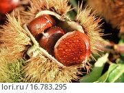 Купить «Chestnuts, Castanea sativa», фото № 16783295, снято 20 января 2019 г. (c) easy Fotostock / Фотобанк Лори