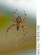 Garden spider, Araneus diadematus. Стоковое фото, фотограф ZOONAR GMBH LBRF / easy Fotostock / Фотобанк Лори