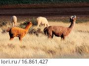 Alpacas Vicugna pacos. Стоковое фото, фотограф ZOONAR GMBH LBRF / easy Fotostock / Фотобанк Лори