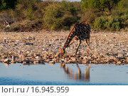Купить «Giraffe beim Drinken», фото № 16945959, снято 5 июля 2020 г. (c) easy Fotostock / Фотобанк Лори