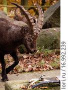 Купить «Ziegenbock in Nahaufnahme», фото № 16992239, снято 22 сентября 2018 г. (c) easy Fotostock / Фотобанк Лори