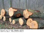 Купить «Oak Logs», фото № 16999431, снято 15 июля 2020 г. (c) easy Fotostock / Фотобанк Лори
