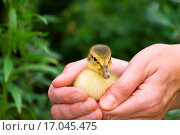 baby chicks. Стоковое фото, фотограф Zoonar/totalpics / easy Fotostock / Фотобанк Лори
