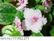 Купить «african violet Saintpaulia», фото № 17052271, снято 9 июля 2020 г. (c) easy Fotostock / Фотобанк Лори