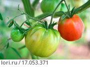 Купить «Tomatoes ripening on the plant», фото № 17053371, снято 21 ноября 2019 г. (c) easy Fotostock / Фотобанк Лори