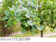 Купить «oak branch with acorns and leaves in forest», фото № 17253099, снято 29 августа 2014 г. (c) Syda Productions / Фотобанк Лори