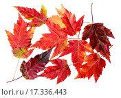 Купить «Красные осенние листья клена гиннала на белом фоне», фото № 17336443, снято 3 октября 2015 г. (c) Алёшина Оксана / Фотобанк Лори