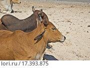 Купить «Дварка. Две коровы», фото № 17393875, снято 10 февраля 2015 г. (c) Вячеслав Беляев / Фотобанк Лори