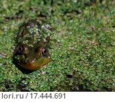 Купить «Frog in pond», фото № 17444691, снято 19 августа 2018 г. (c) easy Fotostock / Фотобанк Лори
