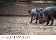 Купить «small pigs in the farm», фото № 17510975, снято 17 июня 2019 г. (c) PantherMedia / Фотобанк Лори