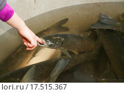 Купить «Autumn harvest of carps from fishpond to christmas markets in Czech republic. In Central Europe fish is a traditional part of a Christmas Eve dinner.», фото № 17515367, снято 20 апреля 2019 г. (c) PantherMedia / Фотобанк Лори