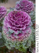 Купить «africa edible madagascar multicoloured brassica», фото № 17515727, снято 19 октября 2019 г. (c) PantherMedia / Фотобанк Лори