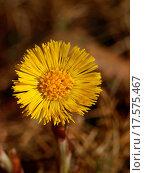 Купить «Coltsfoot in the spring», фото № 17575467, снято 15 октября 2018 г. (c) easy Fotostock / Фотобанк Лори