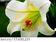 Купить «Amaryllis Flower and Pollen», фото № 17630231, снято 5 июня 2020 г. (c) easy Fotostock / Фотобанк Лори