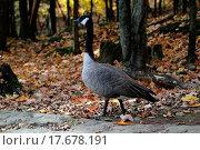 Купить «Canada Goose», фото № 17678191, снято 23 января 2018 г. (c) easy Fotostock / Фотобанк Лори
