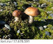 Белые грибы. Стоковое фото, фотограф Андрей Усачев / Фотобанк Лори