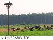 Купить «Cows herd», фото № 17683879, снято 21 марта 2019 г. (c) easy Fotostock / Фотобанк Лори