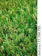 Купить «Rice Paddies», фото № 17794795, снято 20 февраля 2020 г. (c) easy Fotostock / Фотобанк Лори