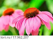 Купить «Sonnenhut Purpur _ Purple Coneflower 49», фото № 17962207, снято 9 июля 2020 г. (c) easy Fotostock / Фотобанк Лори