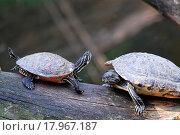 2 Schildkröten. Стоковое фото, фотограф Zoonar/fmf / easy Fotostock / Фотобанк Лори