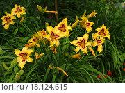 Купить «Лилейник в саду», фото № 18124615, снято 12 июля 2015 г. (c) Natalya Sidorova / Фотобанк Лори