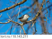 Купить «White_breasted Nuthatch Sitta carolinensis», фото № 18143211, снято 11 июля 2020 г. (c) easy Fotostock / Фотобанк Лори