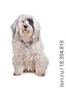 Купить «Tibetan Terrier», фото № 18394819, снято 30 мая 2020 г. (c) easy Fotostock / Фотобанк Лори