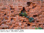 Зелёная ветка проросла сквозь кирпичную стену. Стоковое фото, фотограф Алексей Наумов / Фотобанк Лори