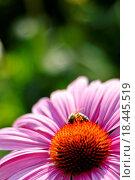 Купить «Purple cone flower Echinacea purpurea Primadonna tiefrosa», фото № 18445519, снято 7 июля 2020 г. (c) easy Fotostock / Фотобанк Лори