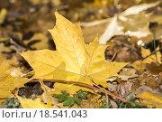 Купить «light tree bright autumn leaves», фото № 18541043, снято 20 июня 2019 г. (c) PantherMedia / Фотобанк Лори