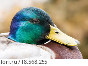 Купить «Portrait of a male wild duck», фото № 18568255, снято 24 февраля 2019 г. (c) PantherMedia / Фотобанк Лори