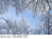 Заснеженные ветки на фоне неба. Стоковое фото, фотограф Марина Остапенко / Фотобанк Лори