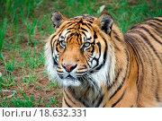 sumatran tiger. Стоковое фото, фотограф Zoonar/P Morley / easy Fotostock / Фотобанк Лори