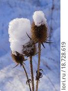 Сухие цветы чертополоха в снегу. Стоковое фото, фотограф Александр Сосюра / Фотобанк Лори