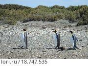 Королевские пингвины на берегу залива Инутиль. Чили (2014 год). Стоковое фото, фотограф Free Wind / Фотобанк Лори