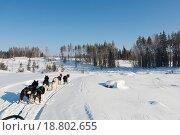 Ездовые собаки хаски в упряжке зимой на лесной дороге в Карелии. Стоковое фото, фотограф Сергей Серебряков / Фотобанк Лори