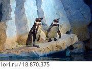 """Купить «Пингвины Гумбольдта (перуанские пингвины , лат. Spheniscus humboldti) в """"Океанариуме"""" (ТРЦ """"Рио"""", Москва)», фото № 18870375, снято 14 ноября 2015 г. (c) Александр Замараев / Фотобанк Лори"""