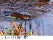 Купить «muskrat swimming in the water of the marsh in spring», фото № 18894451, снято 4 апреля 2020 г. (c) easy Fotostock / Фотобанк Лори