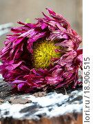 Купить «Увядающая астра крупно», фото № 18906515, снято 17 октября 2015 г. (c) Mike The / Фотобанк Лори