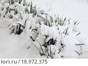 Тропические цветы под снегом. Стоковое фото, фотограф Сергей Блинов / Фотобанк Лори