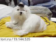 Купить «Мальтийская болонка на выставке собак», эксклюзивное фото № 19144535, снято 28 ноября 2015 г. (c) Константин Косов / Фотобанк Лори