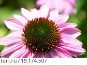 Купить «eastern purple coneflower», фото № 19174507, снято 9 июля 2020 г. (c) easy Fotostock / Фотобанк Лори