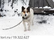 Собака на цепи. Стоковое фото, фотограф Валентин Сорокин / Фотобанк Лори
