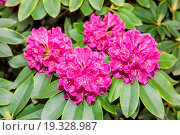 Купить «Rhododendron ponticum is a dense, suckering shrub or small tree native to southern Europe and southwest Asia.», фото № 19328987, снято 26 мая 2013 г. (c) easy Fotostock / Фотобанк Лори