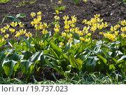 Купить «Кандык (Erythronium) в питомнике декоративных растений», эксклюзивное фото № 19737023, снято 5 мая 2012 г. (c) Алёшина Оксана / Фотобанк Лори