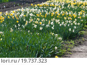 Купить «Нарциссы (Narcissus)», эксклюзивное фото № 19737323, снято 5 мая 2012 г. (c) Алёшина Оксана / Фотобанк Лори