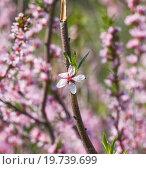 Цветок цветущего миндаля степного (Prunus tenella) Стоковое фото, фотограф Алёшина Оксана / Фотобанк Лори