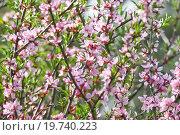 Купить «Цветущий миндаль степной (Prunus tenella)», фото № 19740223, снято 5 мая 2012 г. (c) Алёшина Оксана / Фотобанк Лори
