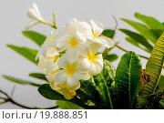 Купить «Плюмерия - белые цветы», эксклюзивное фото № 19888851, снято 22 октября 2015 г. (c) Хайрятдинов Ринат / Фотобанк Лори