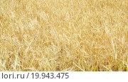 Купить «close-up view of wheat field in sunny day», видеоролик № 19943475, снято 15 октября 2015 г. (c) Яков Филимонов / Фотобанк Лори